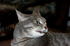 Smile (Glechikoff Andre) Tags: nikond5200 cat iriska animals pets dxo