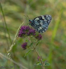 Marbled White Butterfly (SarahW66) Tags: marbledwhite butterflies butterflyonflower butterfly macrophotography macrobutterfly sigmamacro macrolens insects insectphotography insectonflower canon80d signam105mm sigmanature nature naturalbokeh naturephotography wildlife surreywildlife