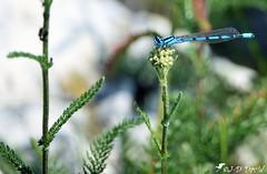 Au sommet de... (Jean-Daniel David) Tags: agrion demoiselle libellule insecte insectevolant herbe pelouse bokeh nature concise suisse suisseromande vaud bleu vert verdure