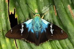 Blue Flasher (Astraptes fulgerator) (bayucca) Tags: hesperiidae pyrginae eudamini astraptes astraptesfulgerator astraptesfulgeratorcomplex ecuador copalinga copalingarainforest rainforest regenwald southamerica wildlife butterfly butterflies dickkopffalter zamorachinchipe taxonomy:binomial=astraptesfulgerator