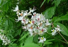 Horse chestnut flowers (helenoftheways) Tags: trees flowers chestnut white green ladywellfields catford london uk