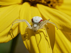 Crab Spider (martin_swatton) Tags: crab spider fareham hampshire uk olympus omd em1 mkii m60mm f28 macro