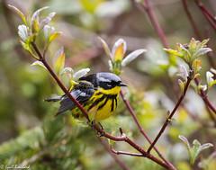 Magnolia Warbler (Lyall Bouchard) Tags: bird bonaventureisland magnoliawarbler percé québec canada ca îlebonaventure