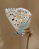 Chalk Hill Blue : Polyommatus coridon (Jerry Hawker) Tags: chalkhillblue polyommatuscoridon chalk hill blue butterfly butterflies bokeh land landed stem stick twig hazelbury