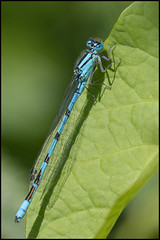 Common Blue Damselfly (John R Chandler) Tags: animal brandonmarsh commonbluedamselfly damselfly enallagamacyathigerum insect unitedkingdom warwickshire warwickshirewildlifetrust coventry uk gb