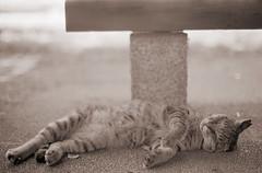 モノクロのリキちゃん (t_mimizuk) Tags: film bw blackandwhite monochrome leica ilford zeiss cat park tokyo japan