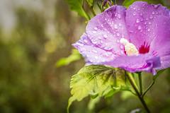Garden flower (memories-in-motion) Tags: eibisch garden flower blossom bokeh canon 5dmarkiii pentax67 smc 55mm f4 nature green blue light water drops