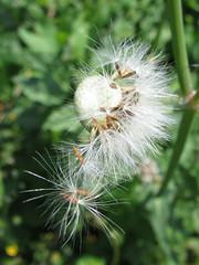 Mini Dandelion Clocks (Redcognito) Tags: dandelionclocks dandelionclock weeds dandelions minidandelions seeds seedheads