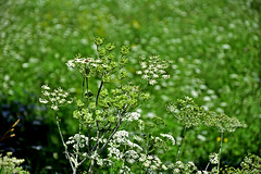 ombrellifera / umbellifer (frank28883) Tags: umbellifer ombrellifera bokeh closeup verde fiorellini