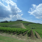 Cecchi wine tasting and tour - field with vines thumbnail