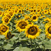 Tschechische Sonnenblumenfelder