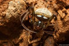 Gelanor sp. (Mimetidae) (elisa_vg) Tags: arthropod arthropoda chelicerate chelicerata arachnid arachnida spider araneae truespider araneomorphae entelegynes pirate mimetidae gelanor