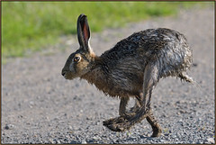 Brown Hare (image 1 of 2) (Full Moon Images) Tags: wildlife nature cambridgeshire fens animal mammal brown hare running