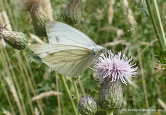 """""""Green-veined White"""" P1350408 (Pitzy's Pyx, keep snapping away!.) Tags: whipsnadezoo bivg big lumixfz1000 bnhs bnhsvisit greenveinedwhite"""