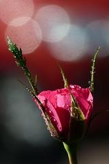 Rosknopp (evisdotter) Tags: rosknopp rose bud red drops macro bokeh sooc flower blomma