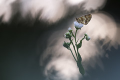 Firework (Thomas Vanderheyden) Tags: bokeh ngc beautifulearth colors couleur firework nature lepidoptere butterfly papillon insect insecte samyang135mm fujifilm xt1 thomasvanderheyden macro proxi faune fauna