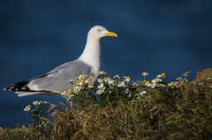 Herring Gull and Oxeye Daisies (michael.smith86) Tags: flamborough east yorkshire sigma 150600 contemporary oxeye daisy herring gull cliff larusargentatus leucanthemum vulgare