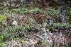 Oulanka Nationalpark (PeepeT) Tags: könkäänkeino oulankanationalpark oulangankansallispuisto kansallispuisto nationalpark nature finnishnature luonto suomenluonto pyy tetrastesbonasia hazelgrouse