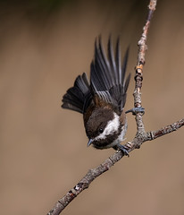 Chestnut-backed Chickadee (dennis_plank_nature_photography) Tags: avianphotography chestnutbackedchickadee thurstoncounty birdphotography naturephotography wa avian backyard birds blind copse flowers home littlerock male nature