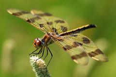 Halloween Pennant Dragonfly (TomIrwinDigital) Tags: dragonfly brontecreek ontario provincialpark macro macromarvels bug