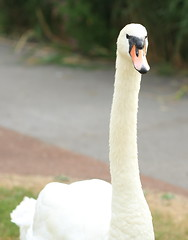 Male swan ( Cob ) on the look out (Barry Miller _ Bazz) Tags: lake cheshire widnes bird wildfowl wildlife outdoorphotography lens art 50mm sigma victoriapark dslr 5d3 canon swan