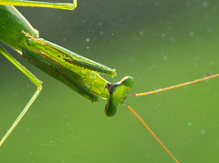 green through and through (Daniel Menzies) Tags: mantis prayingmantis insect macro fujixe1 sigma105mmf28 animal green