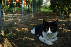favorite place (fordécoll) Tags: 2018 tokyo japan tomato mame cat shade morning sigma dp2q quattro foveon x3 summer intenseheat tomatofarm