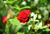 DSC_0347 (PeaTJay) Tags: nikond750 sigma reading lowerearley berkshire macro micro closeups gardens outdoors nature flora fauna plants flowers rose roses rosebuds