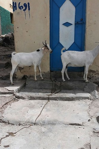Goats roaming in the street