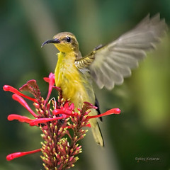 Waving Sunbird (Square) (Grandpa@50) Tags: challenge you winner cyunanimous friendlychallenges