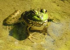 6390ex  sunning frog-- neck deep (jjjj56cp) Tags: frog amphibian inthewild glenwoodgardens highfielddiscoverygarden green closeup macro pond summer cincinnati oh ohio p900 jennypansing details