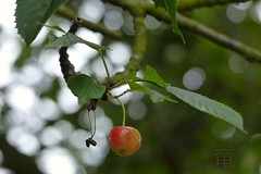 last sweet cherry 🍒 (Ola 竜) Tags: sweetcherry cherrytree branches red cherry tree closeup fz200 bokeh macrofocus dof branch twigs green leaves fruit cherries fruits berry orange ripe delicious one last cherryfruit natural composition