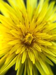 Macro (Mariaconcetta Tiano) Tags: nature italy calabria sila yellow lovely nikonphotographer nikon macrophotography macro flower