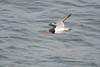 Oystercatcher (Gareth Keevil) Tags: duntulm flyby garethkeevil glassywave inflight june nikon nikon300mmpf nikond500 oystercatcher scotland skye summer trotternish uk wader