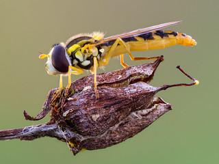 Hoverfly (Sphaerophoria scripta ♀)