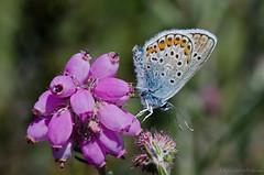 silver-studded blue (sure2talk) Tags: silverstuddedblue plebeiusargus butterfly heather newforest macro close nikond7000 nikkor85mmf35gafsedvrmicro 118picturesin2018115lifeintheundergrowth