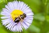 Syrphe (bebopeloula) Tags: photorobertcrosnier 2018 89 bourgogne europe faune france nikond700 tonnerre yonne animaux couleurs extérieur insecte invertébrés macro mouche