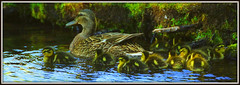 THE FAMILY (Gary Post) Tags: the family mallard mother and ducklings