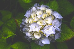 dreamy Hydrangea (HansHolt) Tags: hydrangea hortensia dreamy soft focus flower white wit macro bokeh canon 6d 100mm canoneos6d canonef100mmf28macrousm