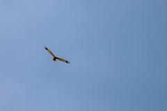 Photo of Marsh Harrier