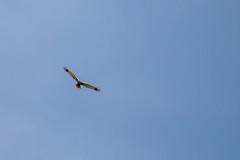 Marsh Harrier (oandrews) Tags: animal bird birds canon canon70d canonuk circusaeruginosus marshharrier nature outdoors wildlife ramseyheights england unitedkingdom gb