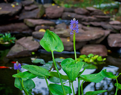pickerel weed (avflinsch) Tags: ifttt 500px water garden pond pickerel weed flower outdoors nature summer bee wet dew rain floral petal spike