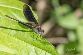 caloptéryx hémorroïdal - Calopteryx haemorrhoidalis (Domaine Des Oiseaux, Ariège) 23 juin 2018