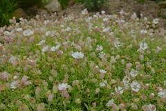 Summer Macros (Adam Swaine) Tags: emmetts emmettsgdns flora flowers gardens kent naturelovers nature rockgarden britain british uk counties canon beautiful macro