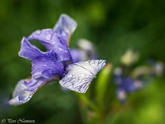 Iris germanica (petrinieminen1) Tags: kukka flower oulu saksankurjenmiekka irisgermanica bokeh