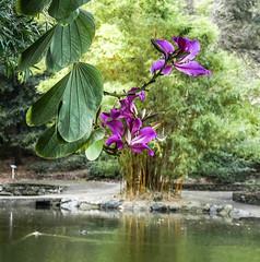 Bauhinia x Blakeana (Caesalpiniaceae) (idunbarreid) Tags: crepemyrtle pond bamboo foliage ducks
