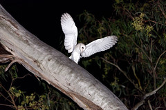 Ready for take-off (Roz B) Tags: approved owls nature barn owl birds queensland australia