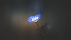 wildflower (Dhina A) Tags: sony a7rii ilce7rm2 a7r2 a7r malik triolam 100mm f29 france anastigmat 29 maliktriolamfranceanastigmat100mmf29 slide projection projector lens french wildflower flower bokeh