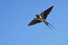 Hirondelle rustique A7301764_DxO (jackez2010) Tags: ilce7m3 sel14tc fe100400mmf4556gmoss bif birdinflight hirondellerustique