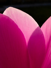 Pink (Steve Taylor (Photography)) Tags: pink black contrast newzealand nz southisland canterbury christchurch northnewbrighton flower petals sunshine